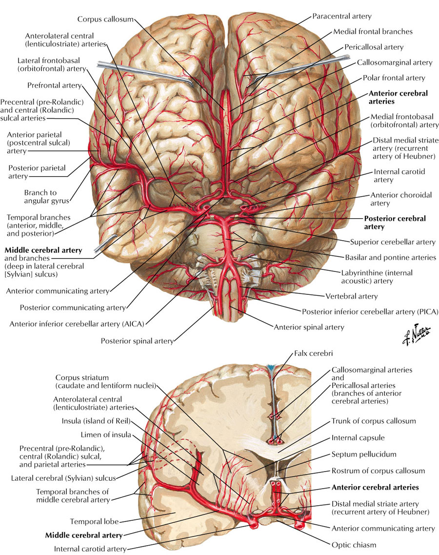Cerebral arteries anatomy
